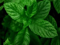 Fresh and abundant mint is important.  It grows like weeds, so get off your duff and plant some.