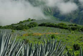 Agave plants in the fields